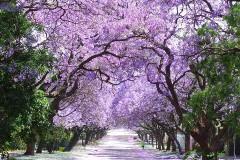 南アフリカ ジャカランダの並木道
