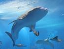 観光プラン・巨大な甚平ざめが眼前で悠々と回遊 ちゅら海水族館